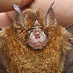Cryptic <em>Rhinolophus pusillus</em> Temminck, 1834 (Chiroptera, Rhinolophidae): a new distribution record from the Chittagong Hill Tracts, Bangladesh