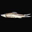 Inventory of fishes in the upper Pelus River (Perak river basin,Perak, Malaysia)