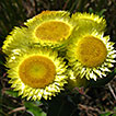 First record of <em>Helichrysum foetidum</em> (L.) Moench. (Asteraceae, Gnaphalieae) for South America