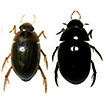 First records of water scavenger beetle ...