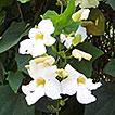 Phytodiversity of Barail Wildlife Sanctuary, ...
