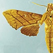 First record of Xylophanes ploetzi (Möschler, ...