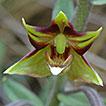 First record of Epipactis veratrifolia ...