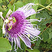 New records of Passiflora L. (Passifloraceae) ...