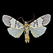 New records of two Barsine species (Lepidoptera, ...