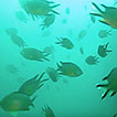 Non-native reef fishes in the Southwest ...