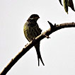 First record of Swallow-tailed Cotinga, ...