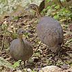 Recent occurrence of Tinamus solitarius ...