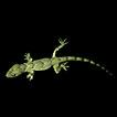 First record of the invasive Hemidactylus ...