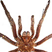 First record of Theraphosa apophysis ...