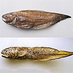 First records of the Redfin Brotula, ...