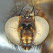 First records of Periscelididae (Diptera, ...