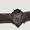 First records of Myotis nigricans (Schinz, ...