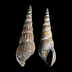 The invasive snail Melanoides tuberculata ...