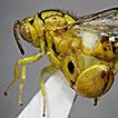 First record of Conura (Conura) maculata ...