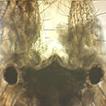 First record of Apocorophium acutum (Chevreux, ...