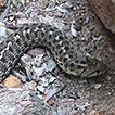 Tachymenis peruviana Wiegmann, 1834 (Serpentes, ...