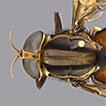 First records of Pantophthalmidae (Diptera, ...