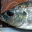First record of the invasive Nile Tilapia, ...