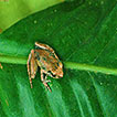 First record of Foulassi Screeching Frog, ...