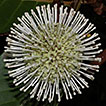 A checklist of Rubiaceae species from ...