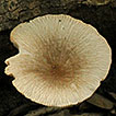 Pluteus Fr. (Pluteaceae, Agaricales) ...