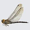Dragonflies and damselflies (Odonata) ...