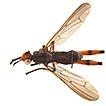 New distribution records for Sciomyzidae ...