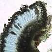Three new records of lichenised fungi ...