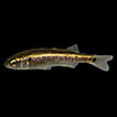 New records of the Mountain Mullet, Dajaus ...