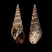 New records of the invasive mollusk Melanoides ...