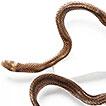 New record of Tantilla alticola (Boulenger, ...