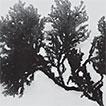 Acanthophora dendroides Harvey (Rhodomelaceae), ...