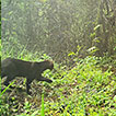 First confirmed record of Jaguarundi, ...