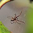 First record of Anelosimus jucundus (O. ...
