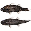 Deep-sea oceanic basslets (Perciformes, ...