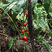 First record of Desmoncus Mart. (Arecaceae) ...
