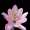 Rediscovery of Passiflora lanceolata ...