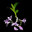 Twelve new additions in the orchid flora ...