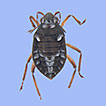 Semiaquatic bugs (Insecta, Heteroptera, ...