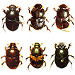 A first faunistic account on the Onthophagus ...