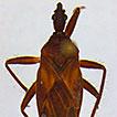 Cavernicola pilosa Barber, 1937 (Hemiptera, ...