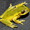 Annotated checklist of the amphibians ...