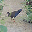 First record of the Paint-billed Crake, ...
