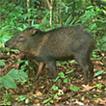 Survey of medium-sized and large mammals ...