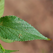 An update on Acalypha inselbergensis ...
