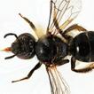 Discovery of Lasioglossum albescens (Smith, ...