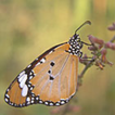 Annotated checklist of butterflies of ...