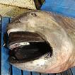 First reports of Megamouth Shark, Megachasma ...
