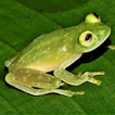 First records of the glass frogs Hyalinobatrachium ...